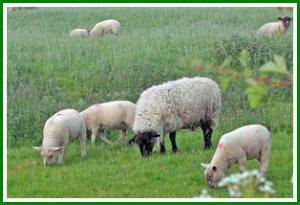 May lambs
