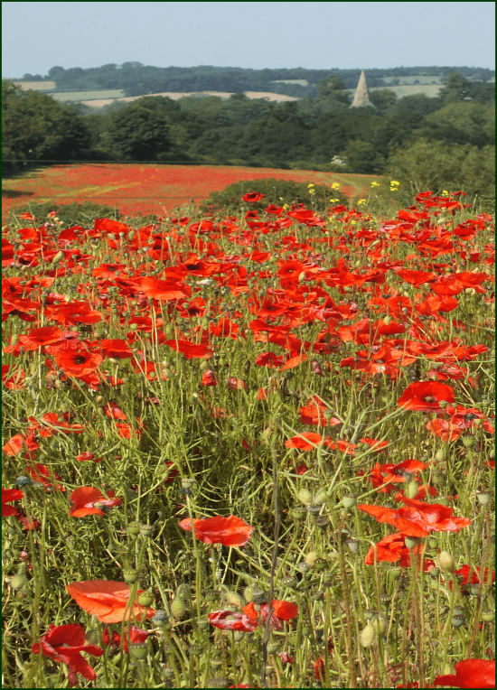 Poppies – cover page for Sept 2013