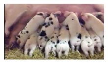 Warriner Piglets video – March 2017